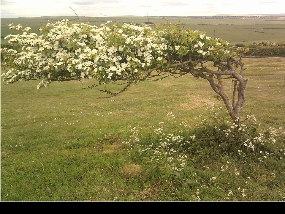 O vento que sempre faz, nesta área, tem mudado a forma desta árvore.