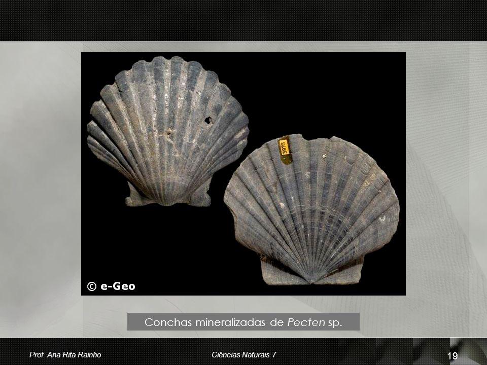 Conchas mineralizadas de Pecten sp.