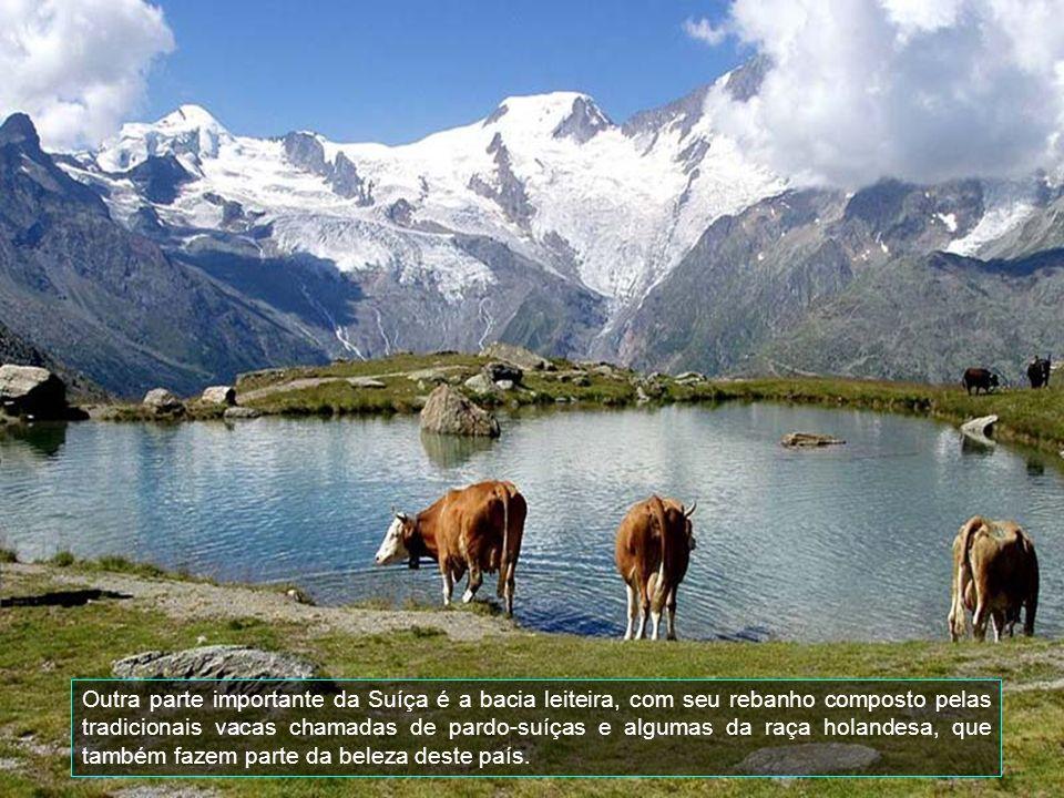Outra parte importante da Suíça é a bacia leiteira, com seu rebanho composto pelas tradicionais vacas chamadas de pardo-suíças e algumas da raça holandesa, que também fazem parte da beleza deste país.