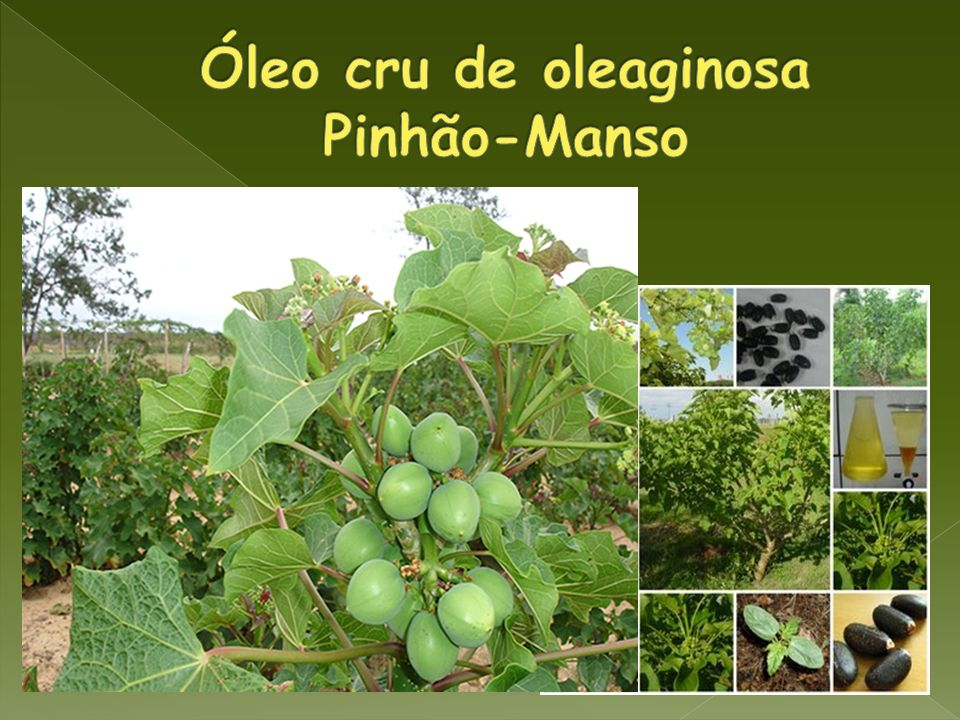 Óleo cru de oleaginosa Pinhão-Manso