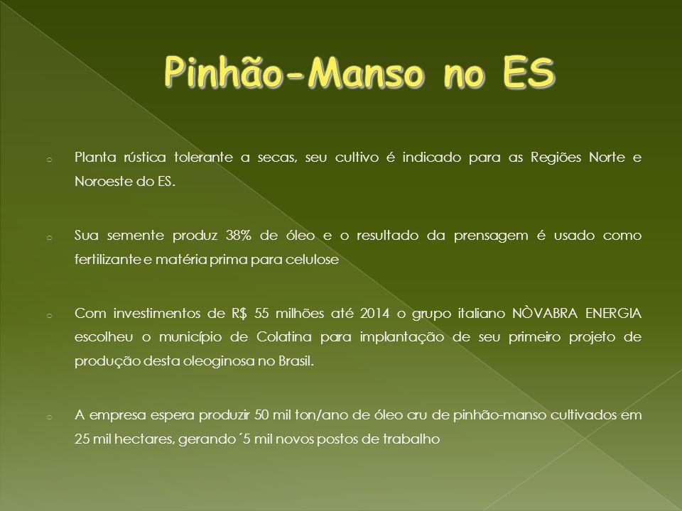 Pinhão-Manso no ES Planta rústica tolerante a secas, seu cultivo é indicado para as Regiões Norte e Noroeste do ES.