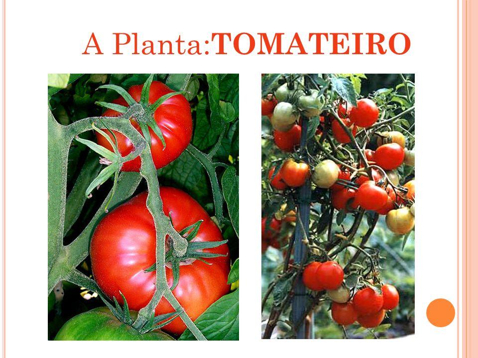 A Planta:TOMATEIRO