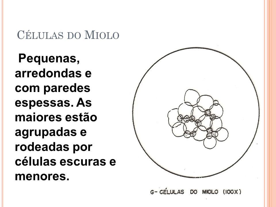 Células do Miolo Pequenas, arredondas e com paredes espessas.