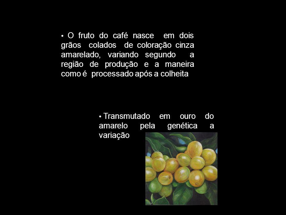 O fruto do café nasce em dois grãos colados de coloração cinza amarelado, variando segundo a região de produção e a maneira como é processado após a colheita