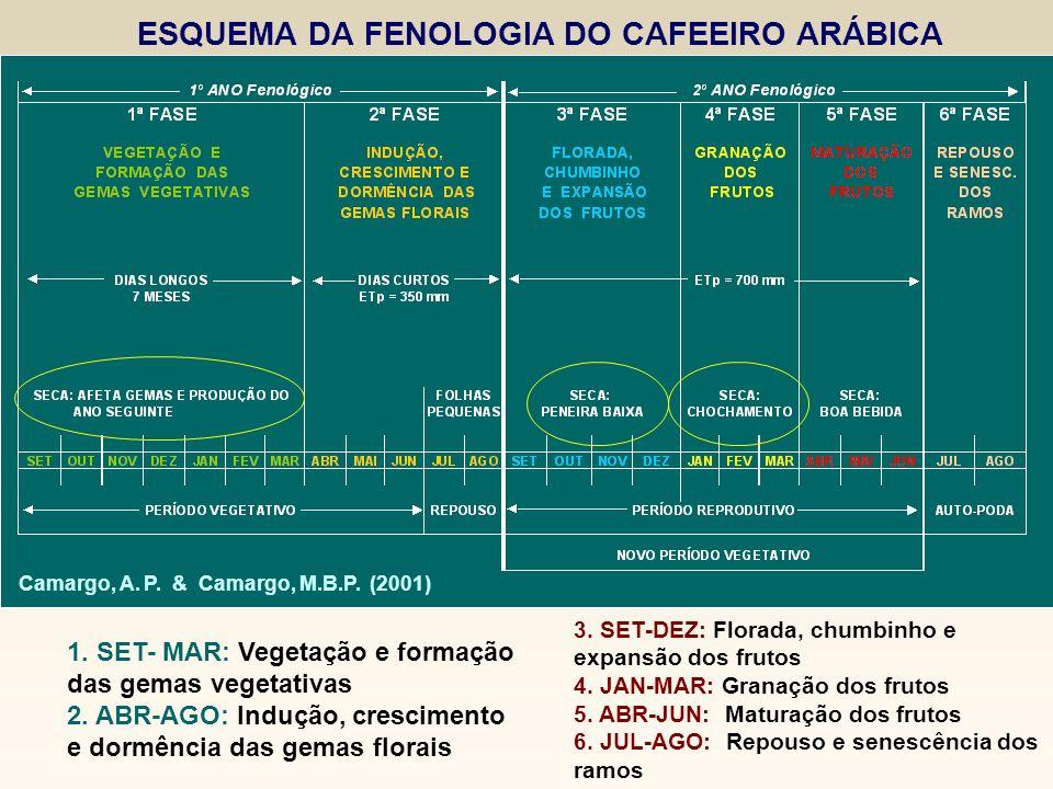ESQUEMA DA FENOLOGIA DO CAFEEIRO ARÁBICA