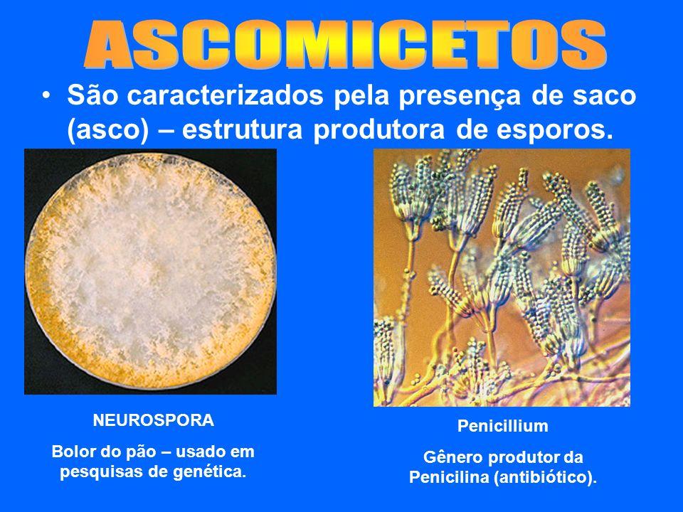 ASCOMICETOS São caracterizados pela presença de saco (asco) – estrutura produtora de esporos. NEUROSPORA.