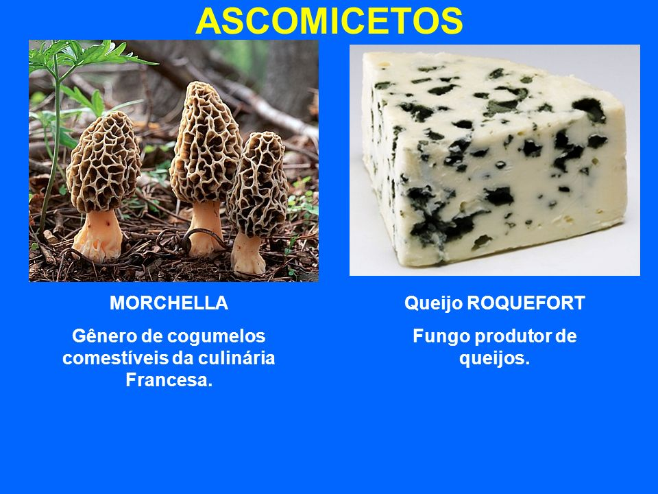 ASCOMICETOS MORCHELLA