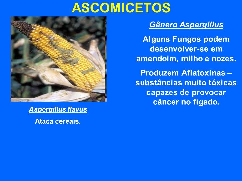 Alguns Fungos podem desenvolver-se em amendoim, milho e nozes.