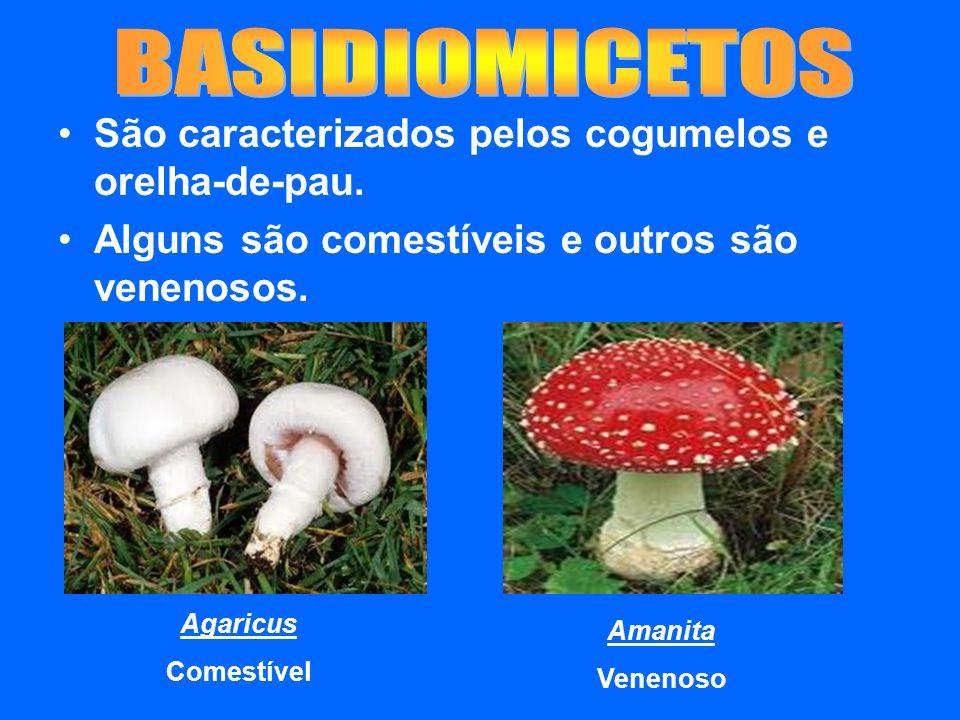 BASIDIOMICETOS São caracterizados pelos cogumelos e orelha-de-pau.