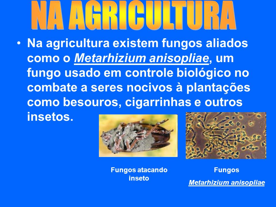 Fungos atacando inseto Metarhizium anisopliae