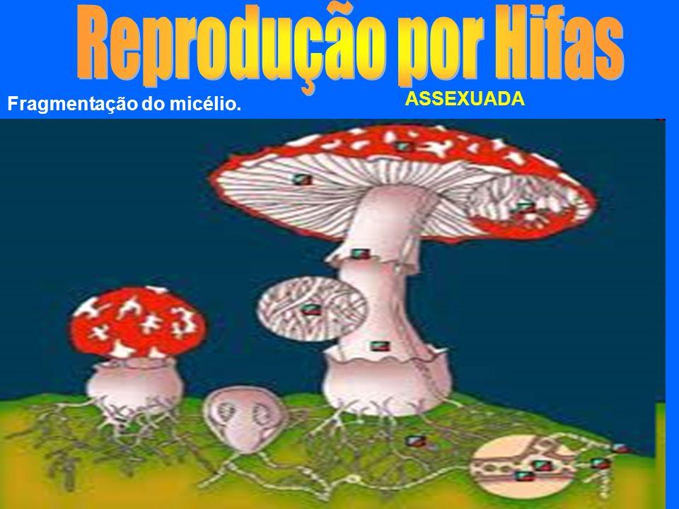 Reprodução por Hifas ASSEXUADA Fragmentação do micélio.