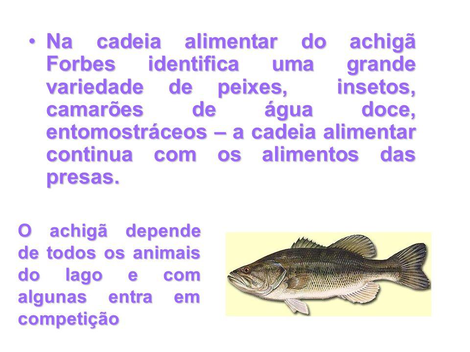 Na cadeia alimentar do achigã Forbes identifica uma grande variedade de peixes, insetos, camarões de água doce, entomostráceos – a cadeia alimentar continua com os alimentos das presas.