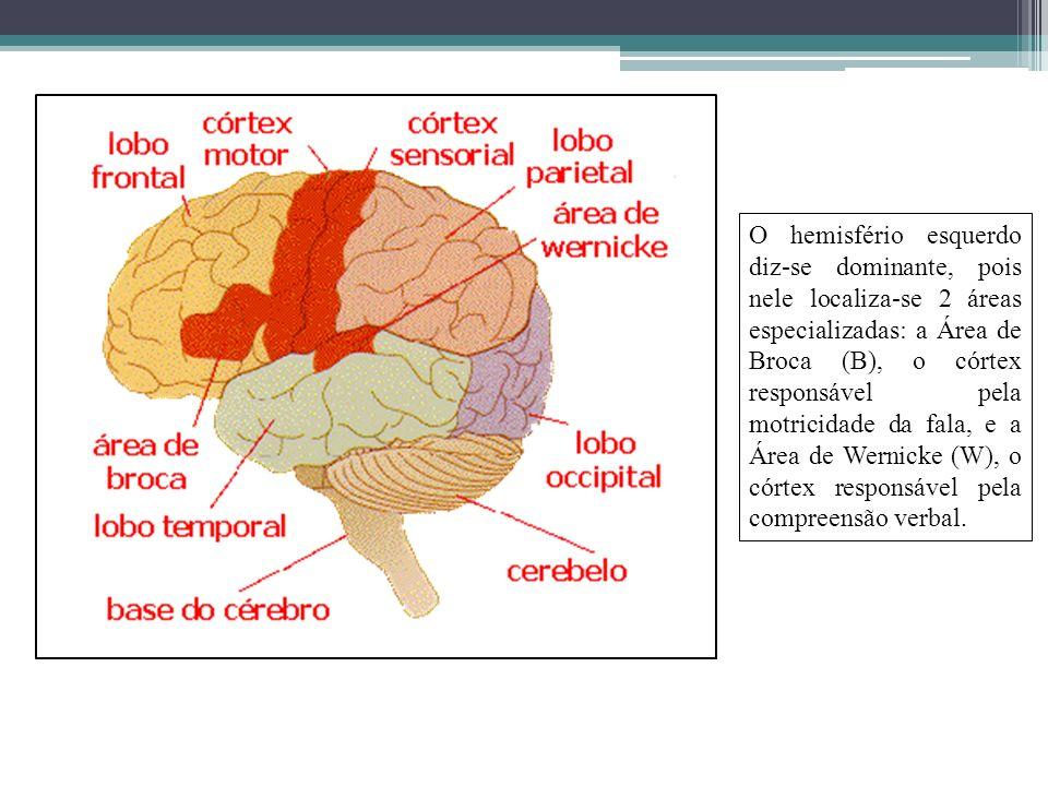 O hemisfério esquerdo diz-se dominante, pois nele localiza-se 2 áreas especializadas: a Área de Broca (B), o córtex responsável pela motricidade da fala, e a Área de Wernicke (W), o córtex responsável pela compreensão verbal.