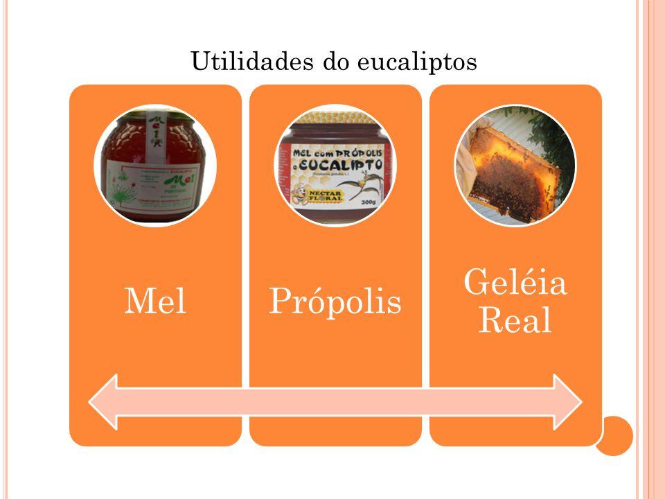 Utilidades do eucaliptos