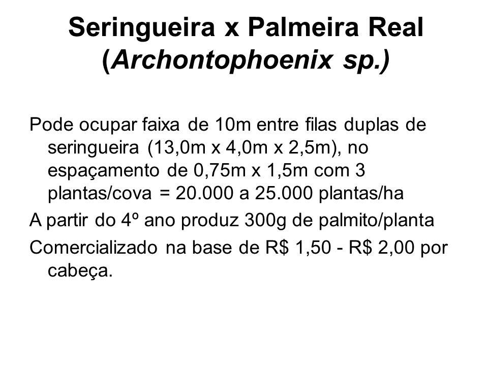 Seringueira x Palmeira Real (Archontophoenix sp.)