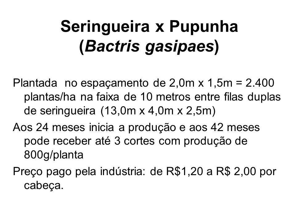 Seringueira x Pupunha (Bactris gasipaes)