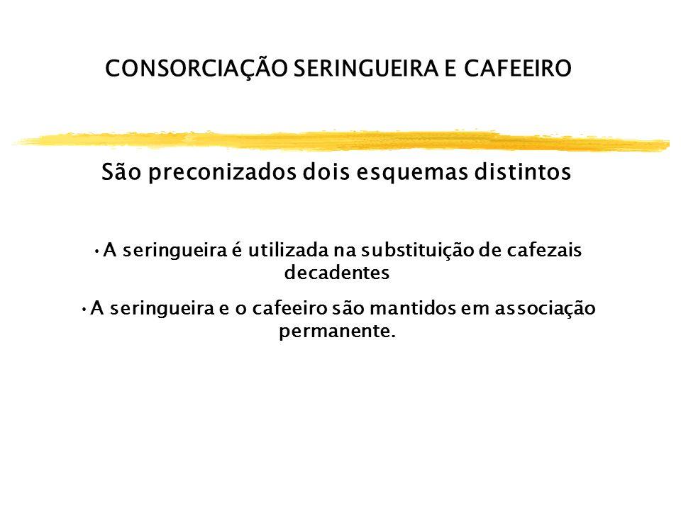 CONSORCIAÇÃO SERINGUEIRA E CAFEEIRO