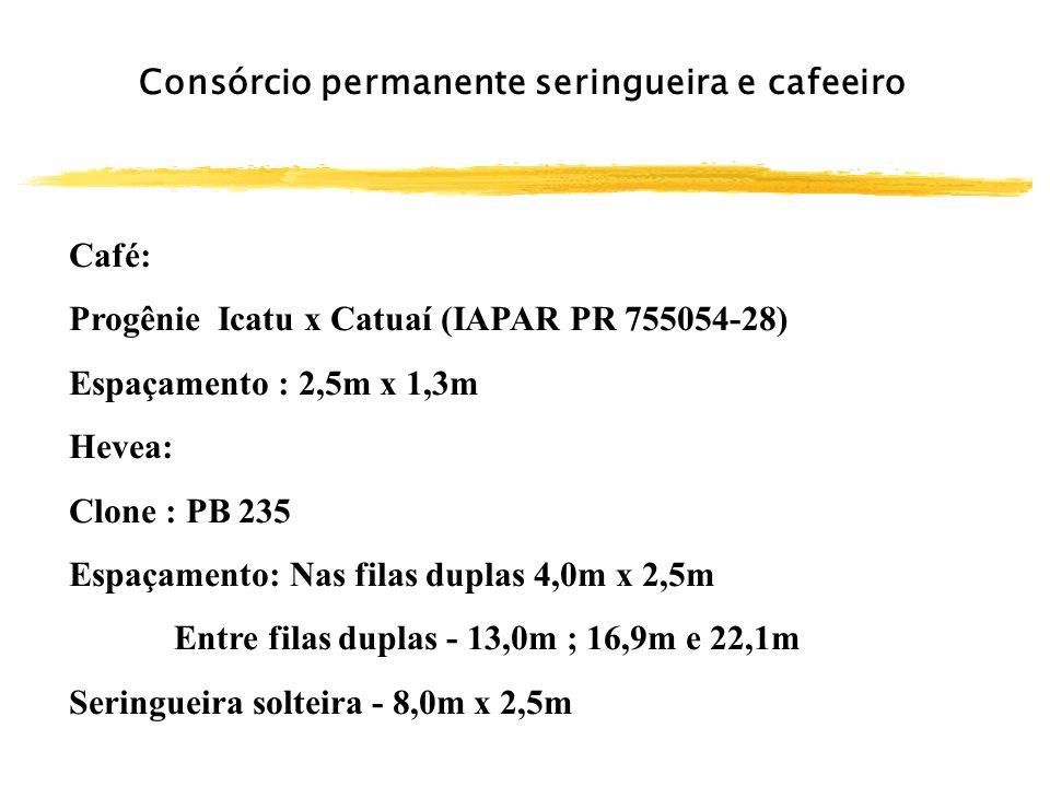 Consórcio permanente seringueira e cafeeiro