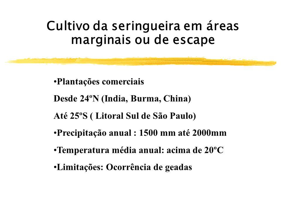 Cultivo da seringueira em áreas marginais ou de escape