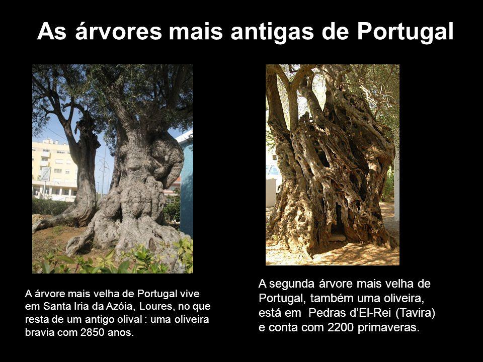 As árvores mais antigas de Portugal