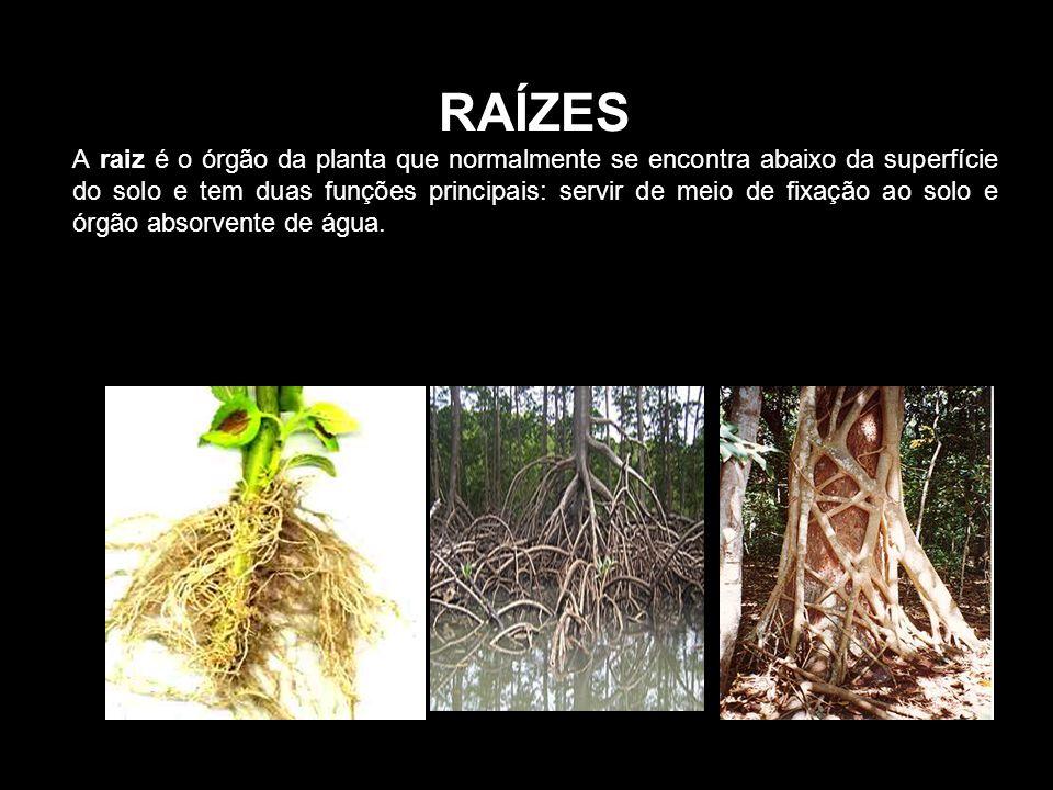RAÍZES A raiz é o órgão da planta que normalmente se encontra abaixo da superfície do solo e tem duas funções principais: servir de meio de fixação ao solo e órgão absorvente de água.