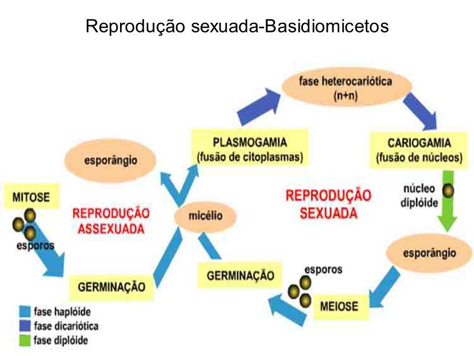 Reprodução sexuada-Basidiomicetos