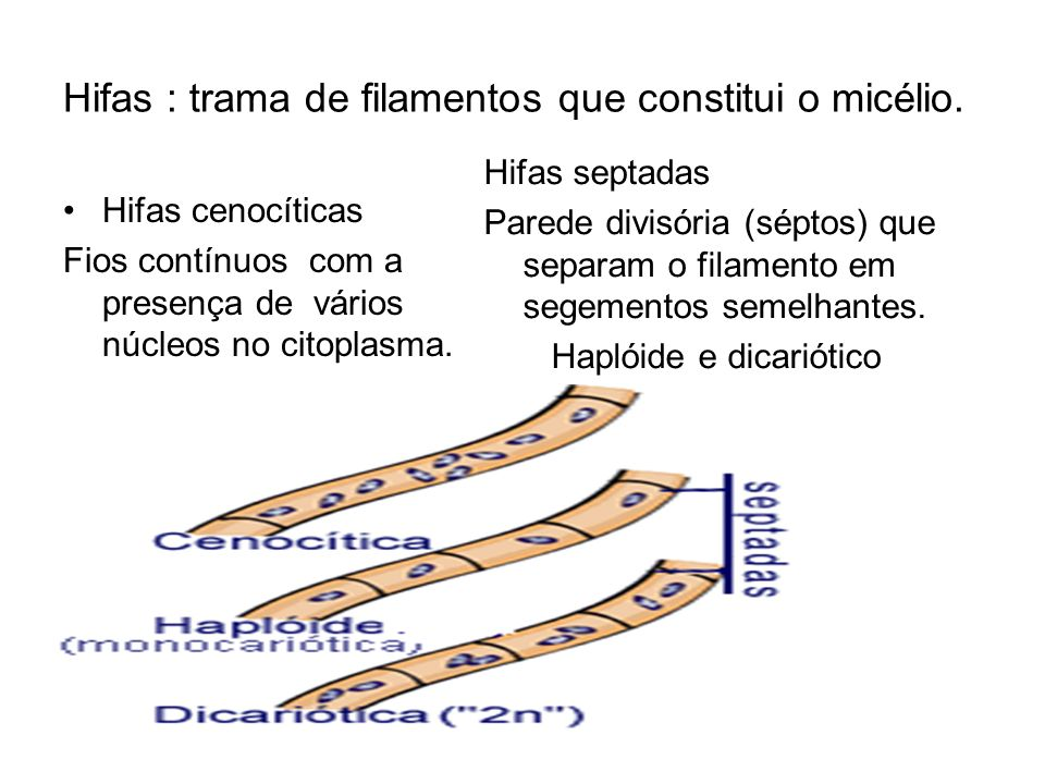 Hifas : trama de filamentos que constitui o micélio.