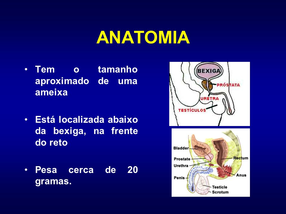 ANATOMIA Tem o tamanho aproximado de uma ameixa