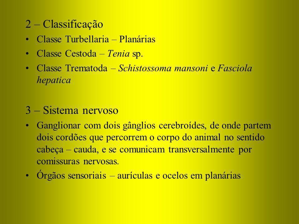 2 – Classificação 3 – Sistema nervoso Classe Turbellaria – Planárias