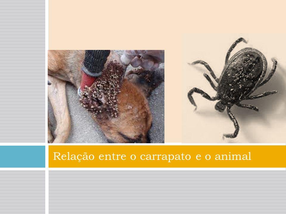 Relação entre o carrapato e o animal