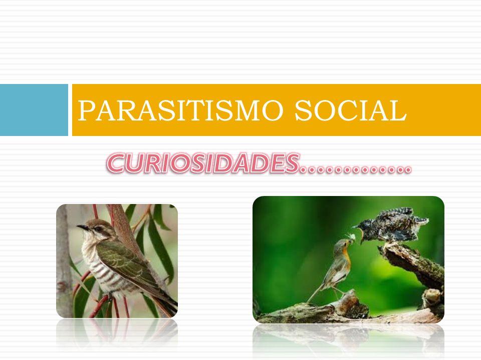 PARASITISMO SOCIAL CURIOSIDADES………….