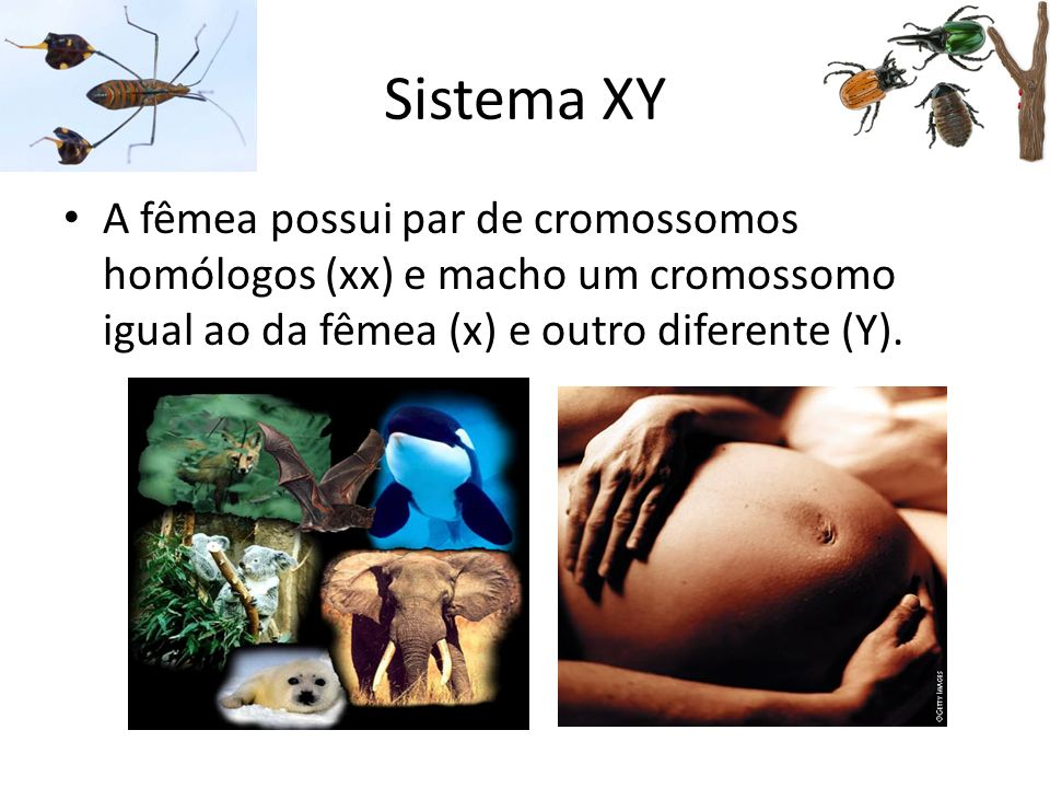 Sistema XY A fêmea possui par de cromossomos homólogos (xx) e macho um cromossomo igual ao da fêmea (x) e outro diferente (Y).
