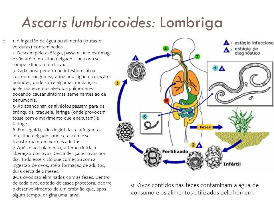 Ascaris lumbricoides: Lombriga