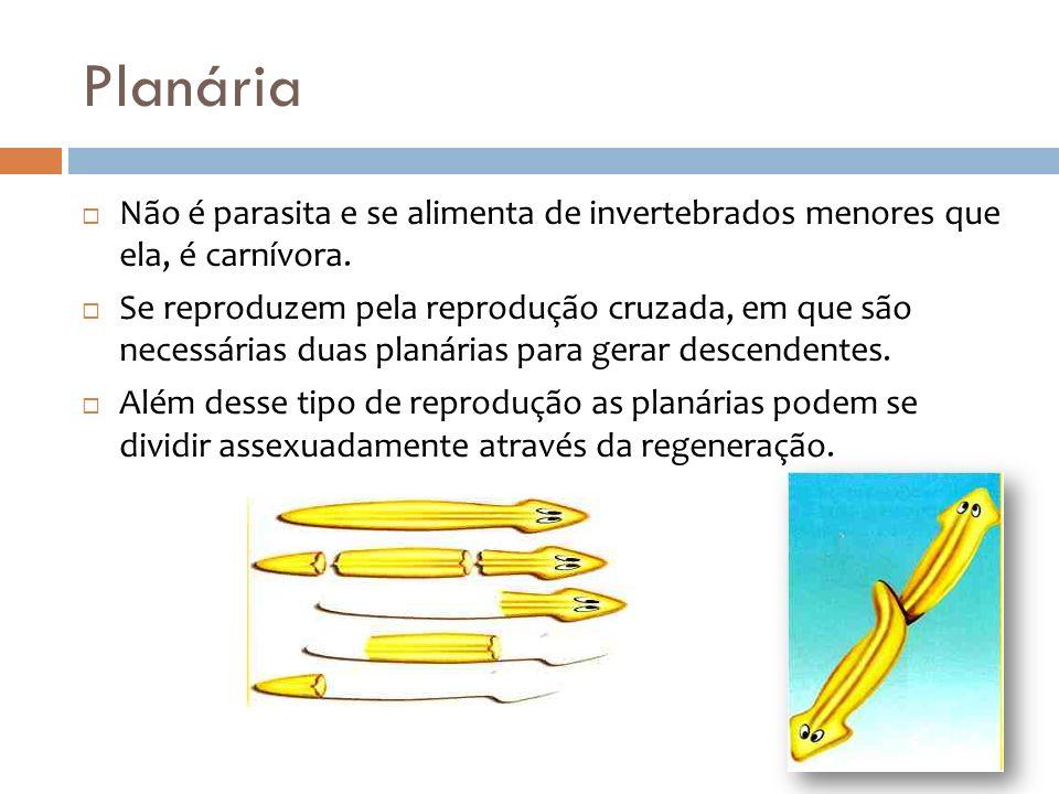 Planária Não é parasita e se alimenta de invertebrados menores que ela, é carnívora.