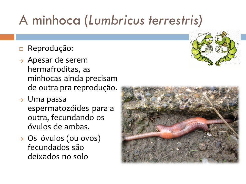 A minhoca (Lumbricus terrestris)