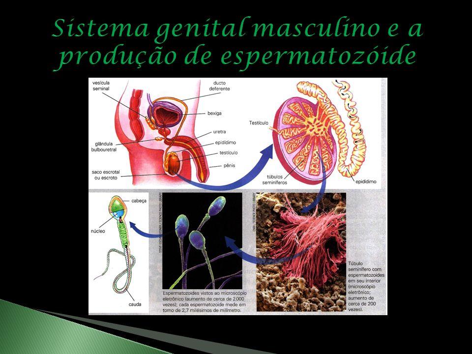 Sistema genital masculino e a produção de espermatozóide
