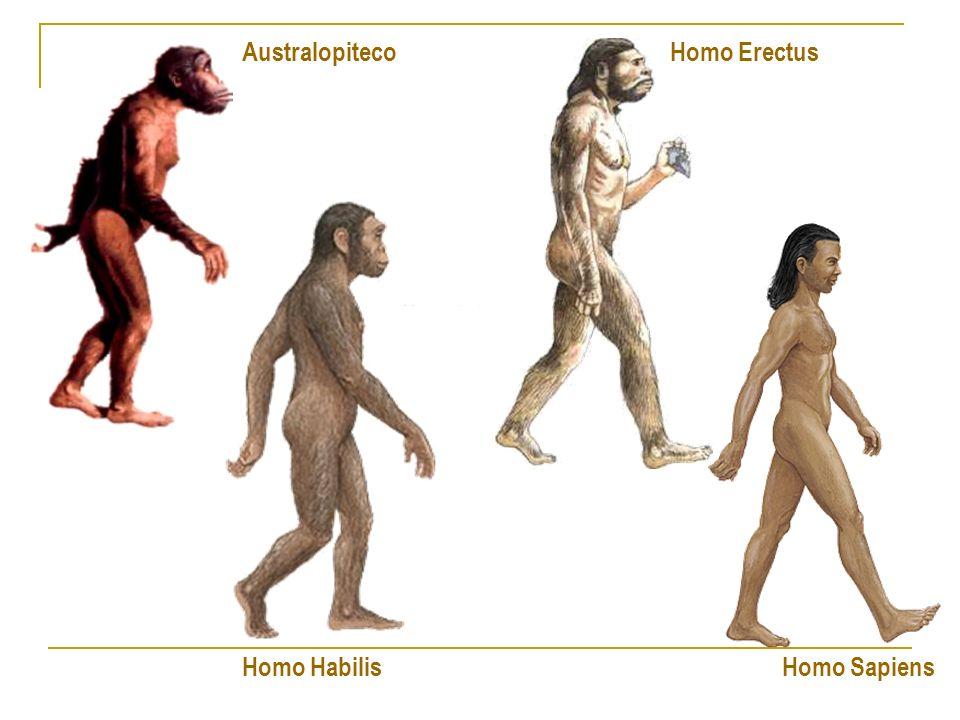 Australopiteco Homo Erectus Homo Habilis Homo Sapiens