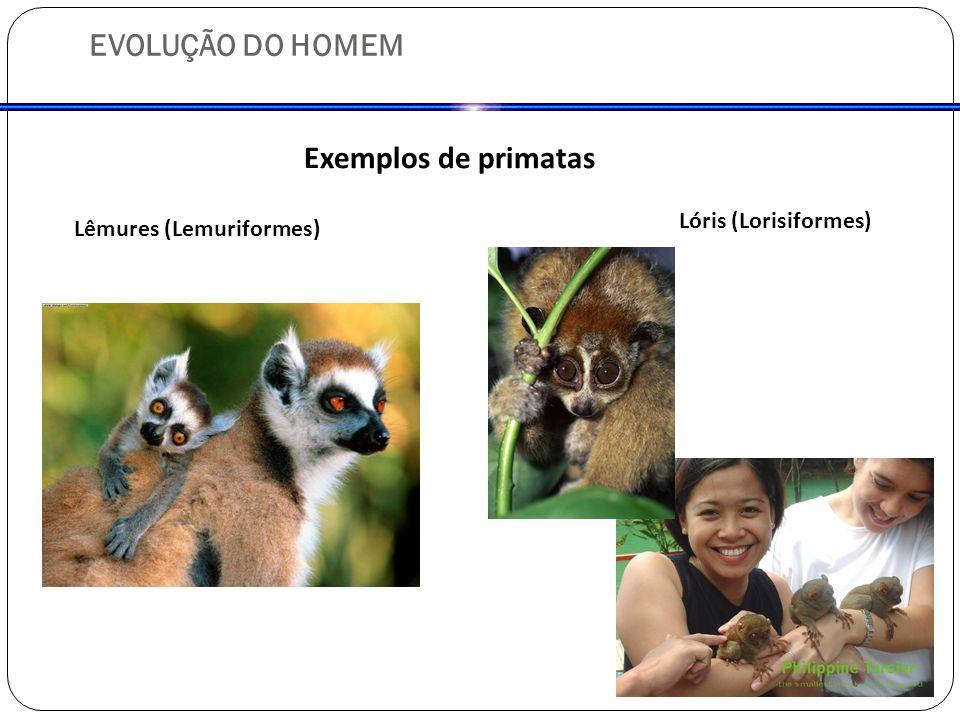 EVOLUÇÃO DO HOMEM Exemplos de primatas Lóris (Lorisiformes)