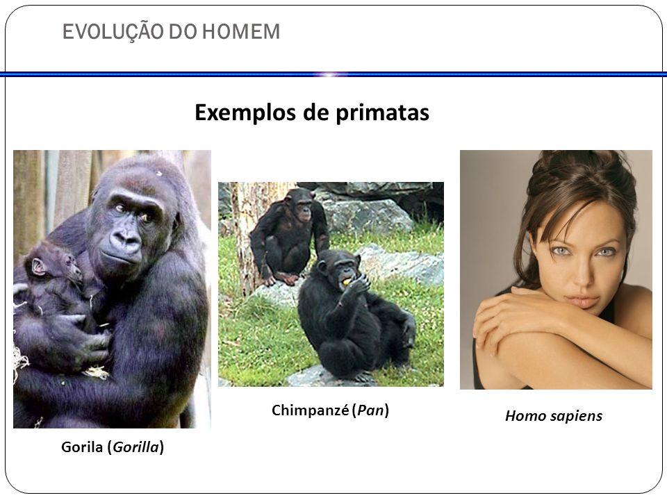 Exemplos de primatas EVOLUÇÃO DO HOMEM Chimpanzé (Pan) Homo sapiens