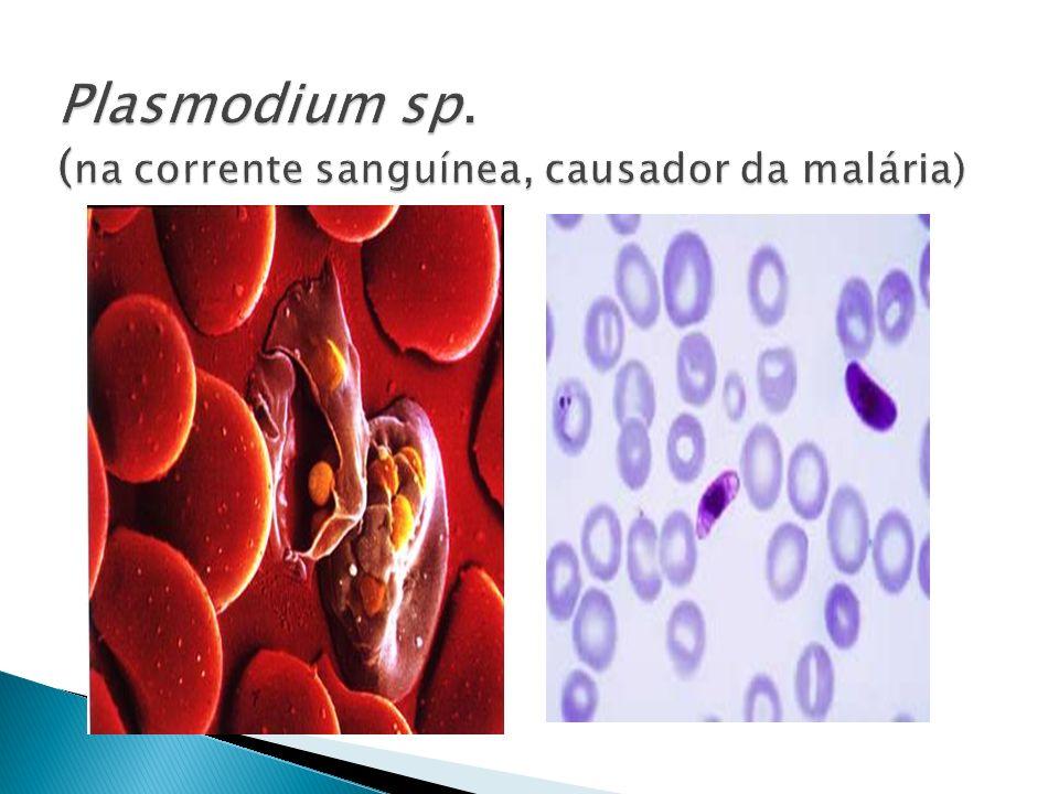 Plasmodium sp. (na corrente sanguínea, causador da malária)