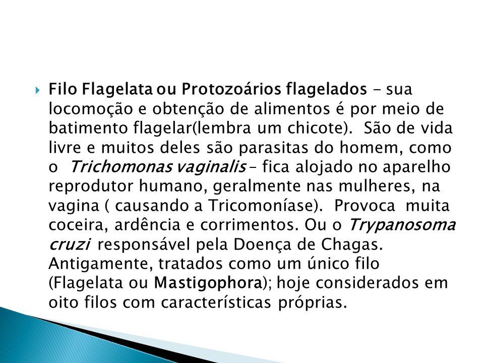 Filo Flagelata ou Protozoários flagelados - sua locomoção e obtenção de alimentos é por meio de batimento flagelar(lembra um chicote).