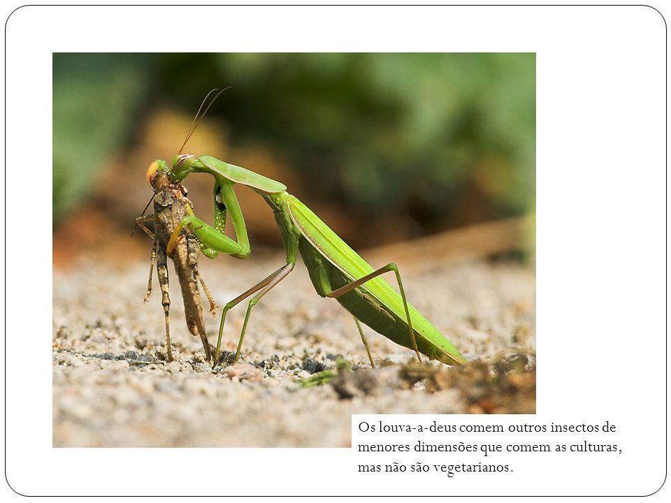 Os louva-a-deus comem outros insectos de menores dimensões que comem as culturas, mas não são vegetarianos.