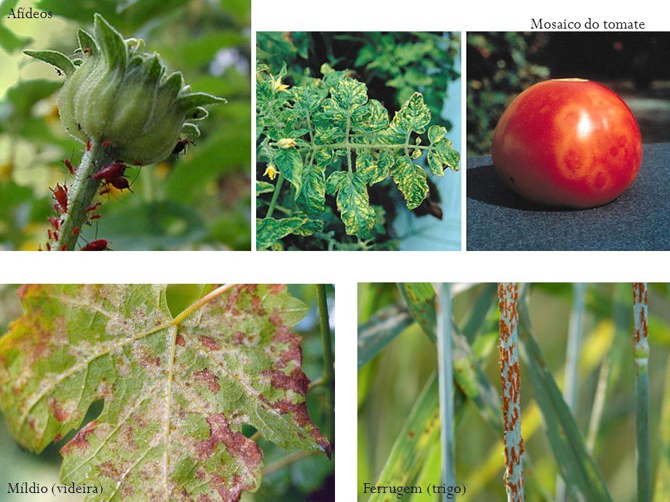 Afídeos Mosaico do tomate Míldio (videira) Ferrugem (trigo)