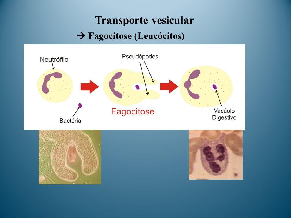  Fagocitose (Leucócitos)