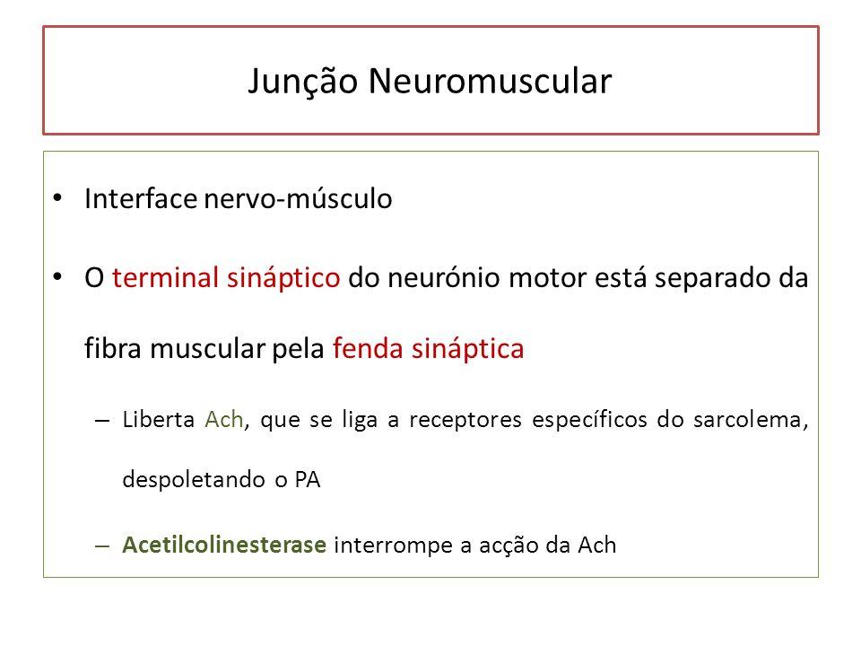 Junção Neuromuscular Interface nervo-músculo