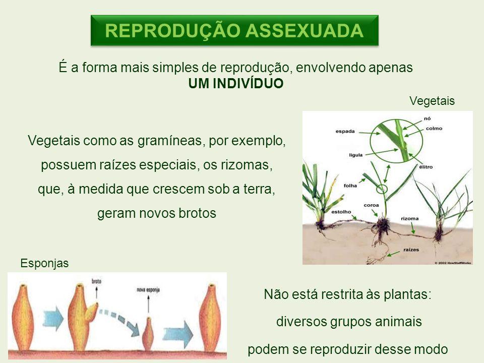 REPRODUÇÃO ASSEXUADA É a forma mais simples de reprodução, envolvendo apenas. UM INDIVÍDUO. Vegetais.
