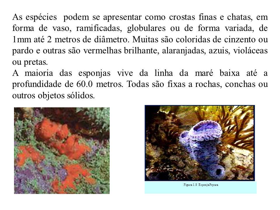 As espécies podem se apresentar como crostas finas e chatas, em forma de vaso, ramificadas, globulares ou de forma variada, de 1mm até 2 metros de diâmetro. Muitas são coloridas de cinzento ou pardo e outras são vermelhas brilhante, alaranjadas, azuis, violáceas ou pretas.