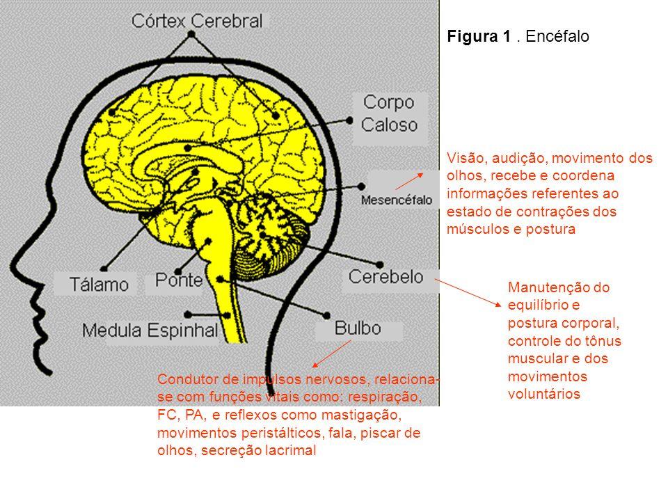Figura 1 . Encéfalo Visão, audição, movimento dos olhos, recebe e coordena informações referentes ao estado de contrações dos músculos e postura.