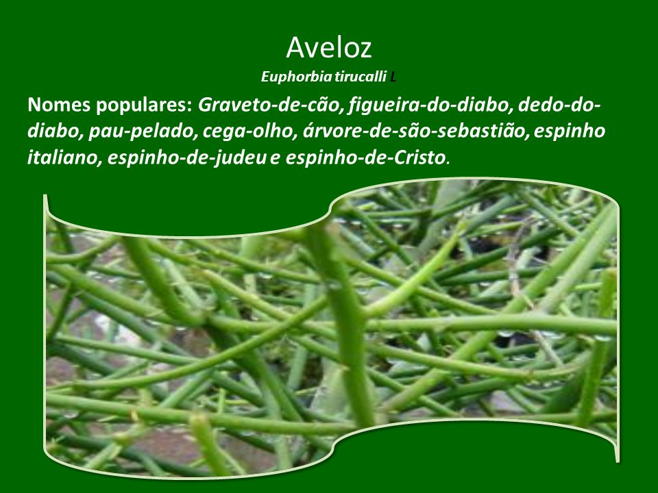 Aveloz Euphorbia tirucalli L
