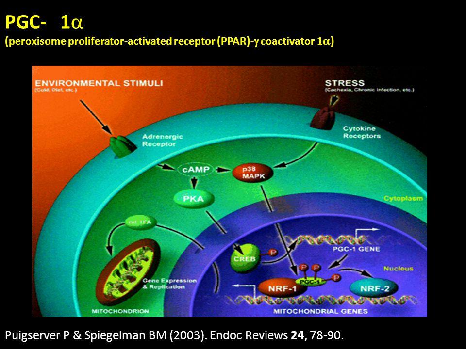 PGC- 1 Puigserver P & Spiegelman BM (2003). Endoc Reviews 24, 78-90.